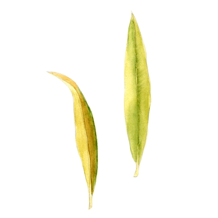 Abstract watercolor oleander leaves on white. Can be used for web pages, identity style, printing, invitations, banners