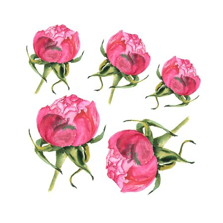 Watercolor illustration of rose bud on white Stock Photo