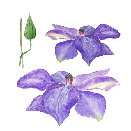 Botanical watercolor illustration sketch of blue clematis flower and a bud on white background