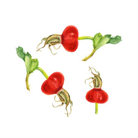 Watercolor illustration of Rose Hips on white. Hand Drawn Illustration Organic Food Vegetarian Ingredient
