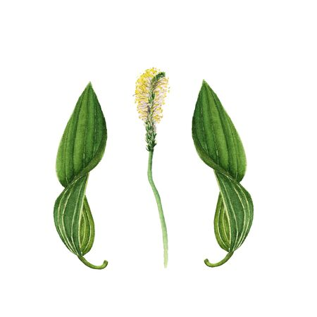 Plantago lanceolata. Botanical watercolor illustration on white background
