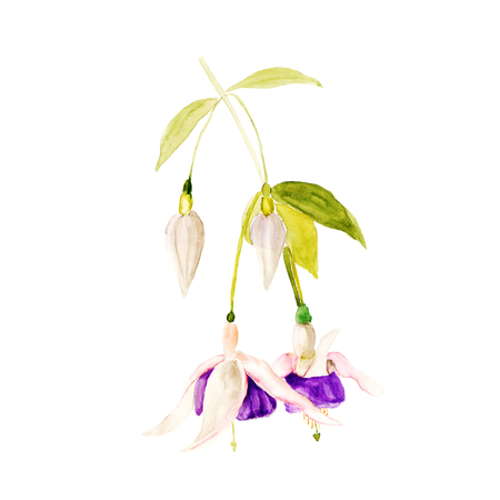 Fuchsia watercolor hand-drawn illustration. Beautiful flowers isolated on a white background