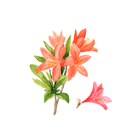Watercolor illustration of pink rhododendron flowers and leaves on white.
