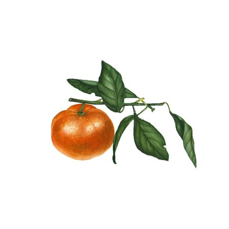 Botanical watercolor illustration of orange tangerine mandarin isolated on white background. Could be used as decoration for web , healthy market, restaurant menu, cosmetics design, package, textile