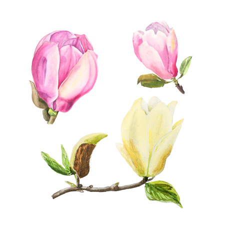 Botanical watercolor illustration of tender pink and yellow magnolia flowers on white background. Could be used as decoration for web design, cosmetics design, package, textile Stock Photo