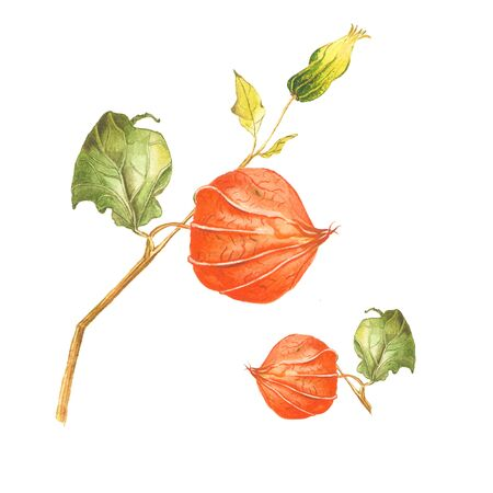 Botanical watercolor illustration, set of physalis parts on white background. Could be used as decoration for healthy market, restaurant menu, cosmetics design, package