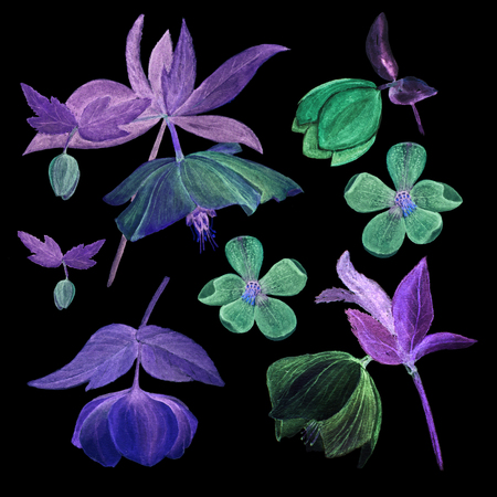 Set of watercolor botanical illustration of hellebores isolated on black background. Floral drawing for the greeting cards, invitations, personalized card and different decorations