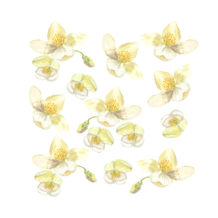 Botanical watercolor illustration of flowers and buds of Philadelphus. Can be used to create wedding invitations and prints of fabric. Drawing
