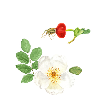 Botanical watercolor illustration sketch of white dogrose with berry and leaves on white background. Could be used as decoration for web design, cosmetics design, package, textile Stock Photo