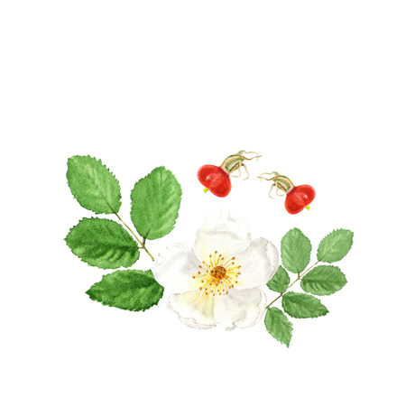 dogrose: Botanical watercolor illustration sketch of white dogrose with berry and leaves on white background. Could be used as decoration for web design, cosmetics design, package, textile Stock Photo