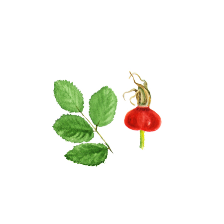 Botanische Aquarellillustrationsskizze der Hagebutte mit Beere und Blättern auf weißem Hintergrund. Könnte als Dekoration für Web-Design, Kosmetik-Design, Verpackung, Textil verwendet werden