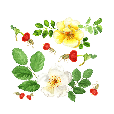 Botanical watercolor illustration sketch of white and yellow flowers dogrose with berry and leaves on white background. Could be used as decoration for web design, cosmetics design, package, textile Stock Photo