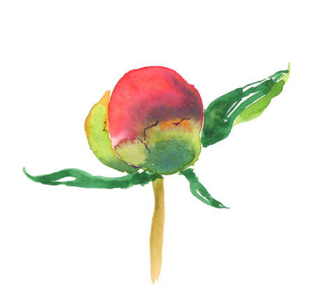 Botanical watercolor illustration sketch of pink peony bud on white background. Could be used as decoration for web design, cosmetics design, package, textile