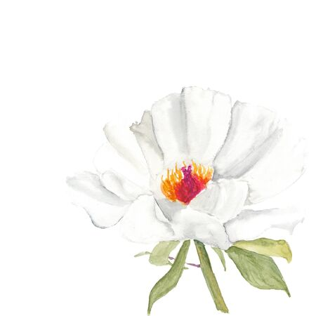 Botanical watercolor illustration sketch of white peony flower on white background. Could be used as decoration for web design, cosmetics design, package, textile