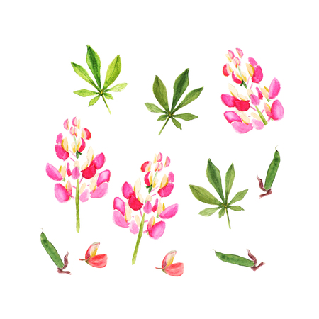 Pink lupine. Watercolor illustration. Isolated on white
