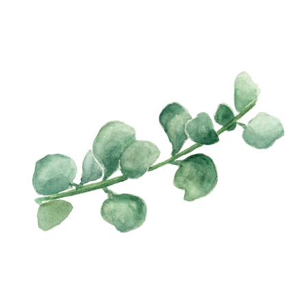 Crassula, money tree. Watercolor painting of stem with leaves on white background