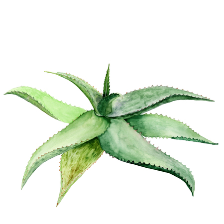 Watercolor succulent aloe. Original hand drawn watercolor painting isolated on white Stock Photo