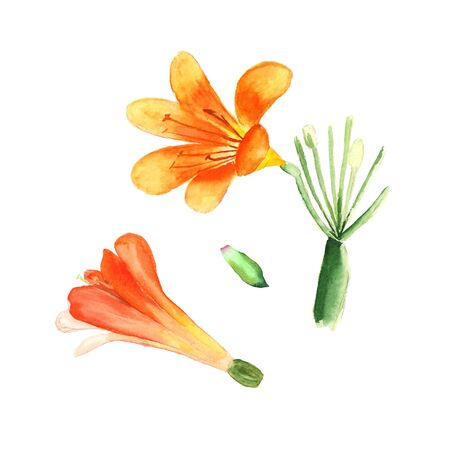 Watercolor Red Amaryllis, isolated on white. Hippeastrum, Hand painted illustration.