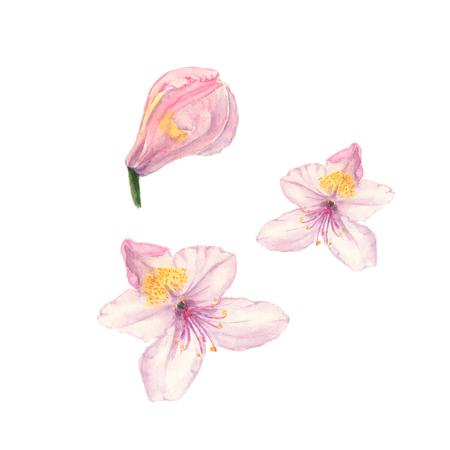 화이트 핑크 진달래 꽃의 수채화 그림 스톡 콘텐츠