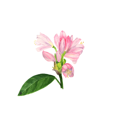 Watercolor illustration of pink rhododendron flowers and leaves on white Stock Photo
