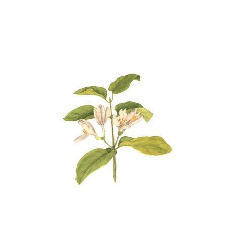 야생 허니의 지점, 손으로 그린 격리 된 수채화 그림에 흰색