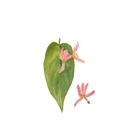 Branch of wild honeysuckle, hand painted Isolated watercolor illustration on white Stock Photo