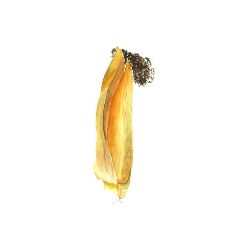 Corncob. Hand drawn watercolor painting on white background, illustration. Stock Photo