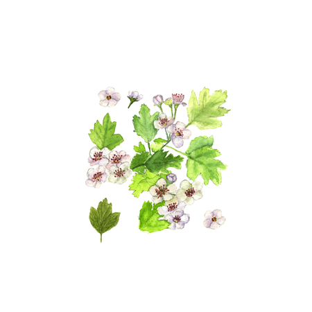 Hawthorn crataegus branch with flowers and leaves. Watercolor on white background Stock Photo