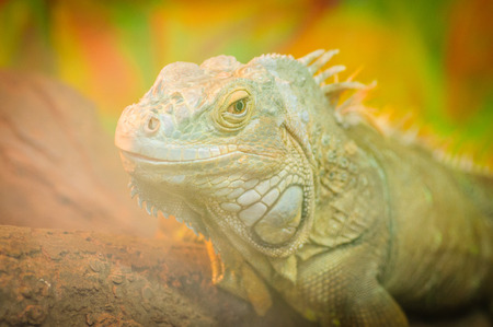 Close-up Head smiling Reptile, green iguana behind glass in terrarium Stock Photo