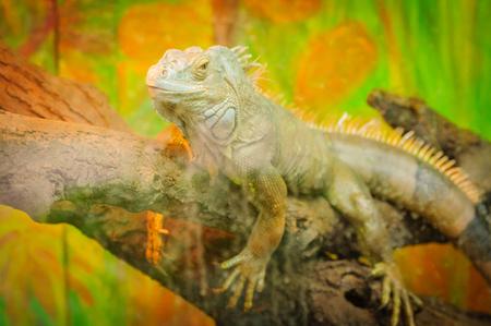 Reptile, green iguana behind the glass in terrarium Stock Photo