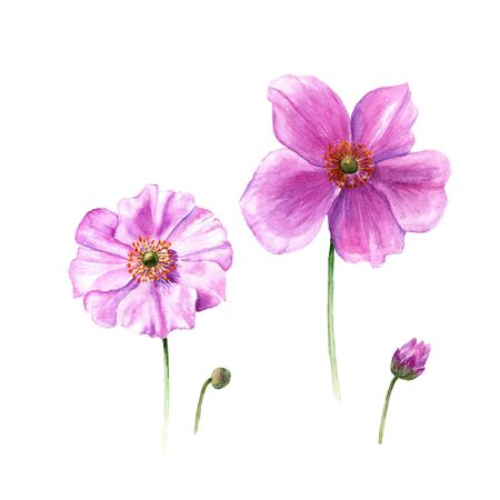 Watercolor anemone flowers and buds. Hand drawn single flower isolated on white background. Botany illustration Stock Photo
