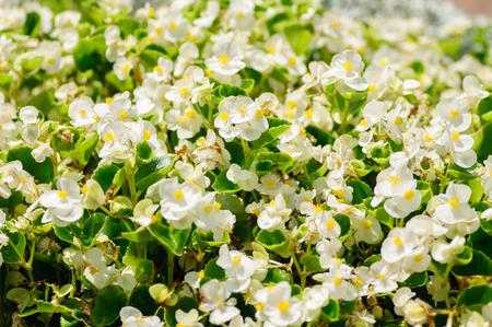 White Begonia flower blooming in garden