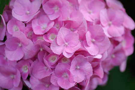 Blossom of Pink hydrangeas on natural background. Close up