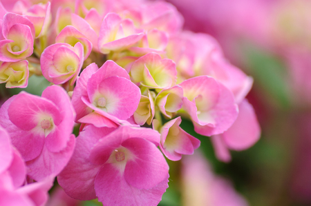 Blossom of Pink with yellow green center hydrangeas on natural background. Close up Stok Fotoğraf