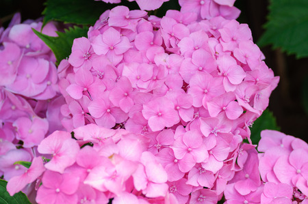 Blossom of Pink hydrangeas on natural background