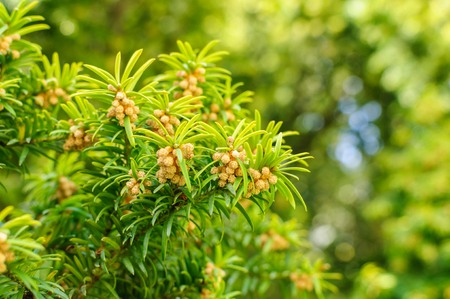 European yew Taxus baccata is a conifer native to western, central and southern Europe, northwest Africa, northern Iran and southwest Asia. Flowered
