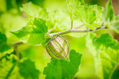 Physalis angulata. An outstanding colorful textures of swell calyx which beautiful green pattern, covered fruit inside. close up, natural sunlight Stock Photo
