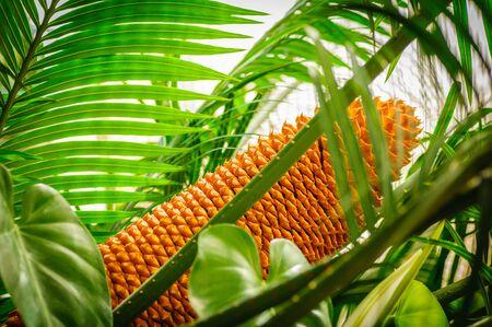 Encephalartos laurentianus shrub. Subtropical cycad evergreen palm like plant with red cones. Cycas