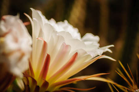 Flowering cactus from Neochilenia family, close-up