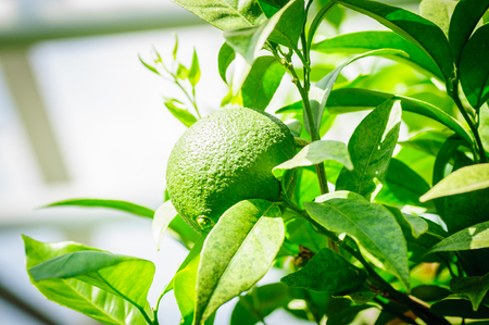 Green citrus fruit on tree with green leaves in sunshine