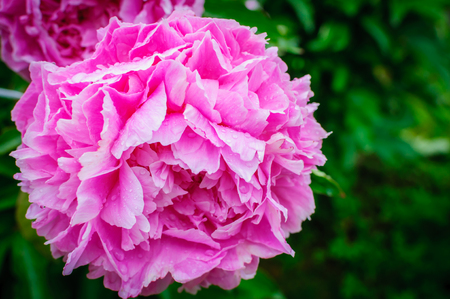 Blooming pink tree peony after the rain. Big pink peony with rainy drops in the spring season