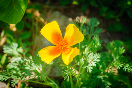 Orange california poppy flower or golden poppy cup of gold stock orange california poppy flower or golden poppy cup of gold eschscholzia californica stock photo mightylinksfo