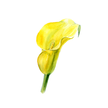 Botanical watercolor illustration sketch of exotic yellow calla flower on white background Stock Photo