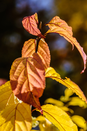 The yellow and red leaves in autumn in the backlight. Autumn leaves Zdjęcie Seryjne