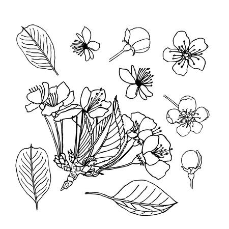 Apple blossom leaves flowers buds. Liner  illustration on white