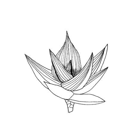 Aloe ibitionsis plant with leaves.  illustration on white
