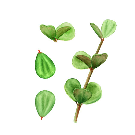 Tropical plant succulent peperomia leaves. Botanical watercolor illustration of succulent on white background