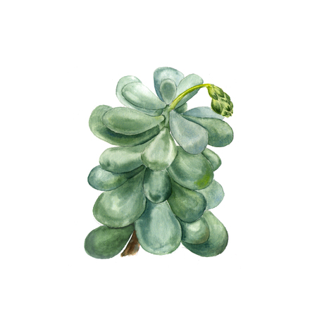 Tropical plant succulent Pachyphytum. Botanical watercolor illustration of succulent on white background