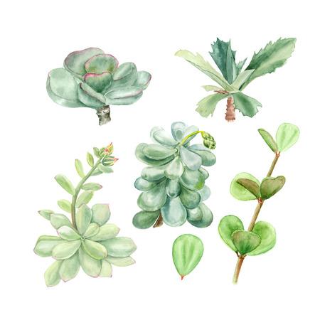 Tropical plants succulents Pachyphytum, echeveria, peperomia, kalanchoe, adromischus. Botanical watercolor illustration of succulent on white background Imagens