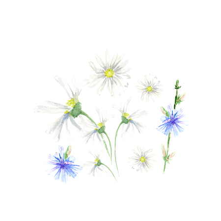 Hand drawn watercolor Chicory and camomile with green leaves set, isolated on white background Imagens